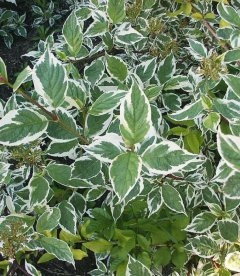 Cornus alba 'Sibirica Variegata', Дерен белий 'Сибирика Вариегата'