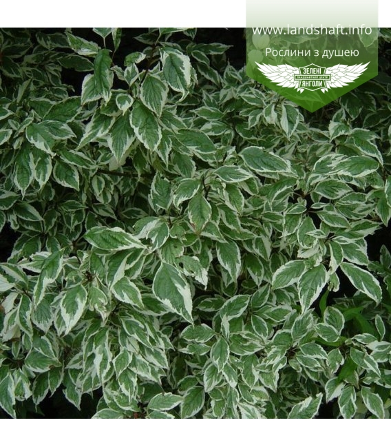 Cornus alba 'Sibirica Variegata', Дерен білий 'Сібіріка Варієгата'