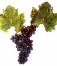 Виноград 'Лазурный'