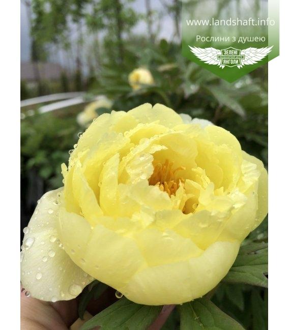 Paeonia suffruticosa 'High Noon' Пион древовидный