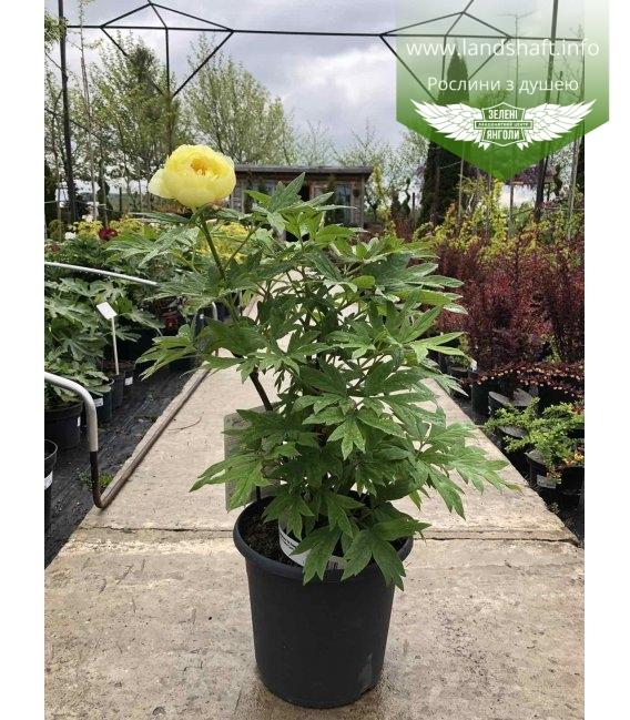 Paeonia suffruticosa 'HaiHuang/High Noon', Півонія деревовиднa 'HaiHuang/High Noon'