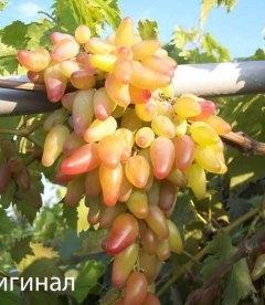 Виноград 'Оригинал'