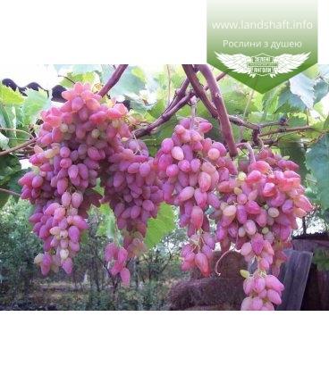 Виноград 'Зарево'