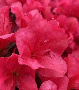 Azalea japonica 'Purpur Kissen', Азалія японська 'Пурпур Кіссен'
