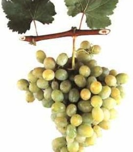 Виноград 'Ала-тоо'