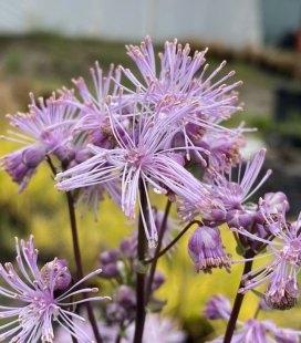 Thalictrum aquilegifolium 'Nimbus Pink', Рутвиця орликолиста 'Німбус Пінк'
