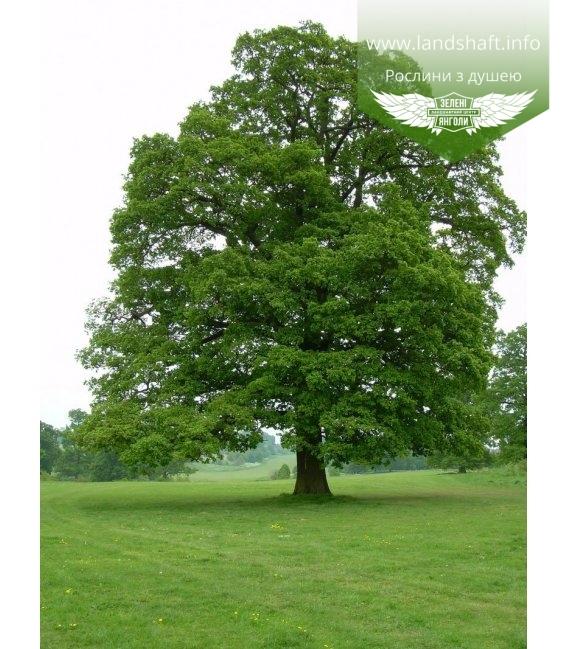 Quercus robur, Дуб черешчатый