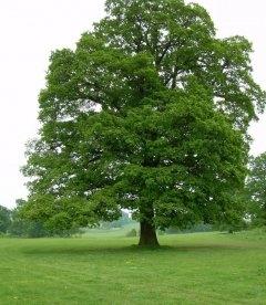 Quercus robur, Дуб звичайний