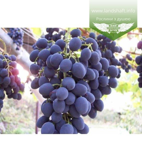 Виноград 'Молдова'