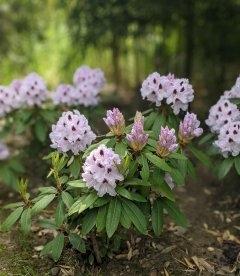 Rhododendron hybrida 'Calsap', Рододендрон гібридний 'Калсап'