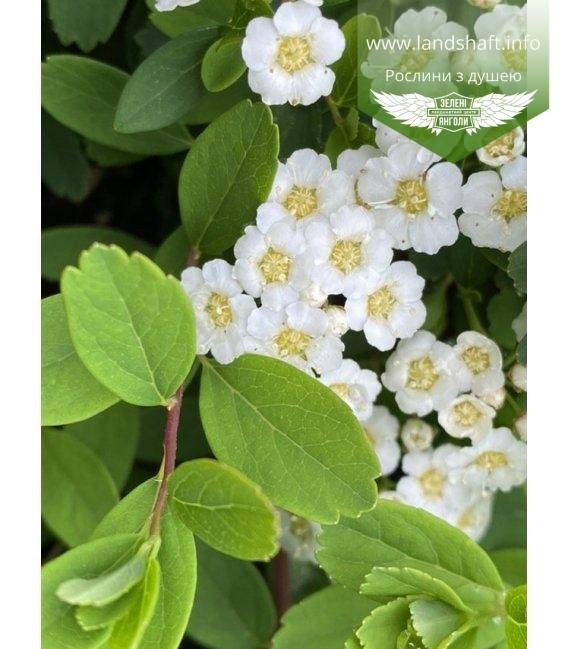 Spiraea japonica 'Snowmound', Спірея японська 'Сноумаунд'