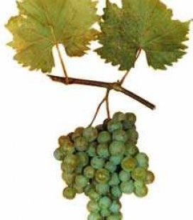 Виноград 'Дружба'