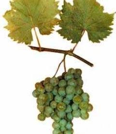 Vitis vinifera 'Druzhba' Виноград винный 'Дружба'