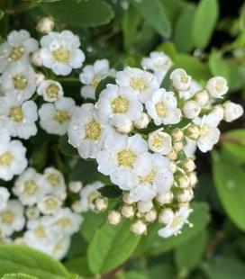 Spiraea nipponica 'Snowmound', Спірея ніпонська 'Сноумаунд'