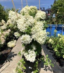 Hydrangea paniculata 'Bombshell', Гортензія волотиста 'Бомбшел'