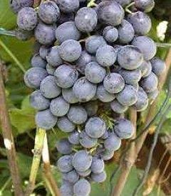 Виноград 'Ливадийский чёрный'