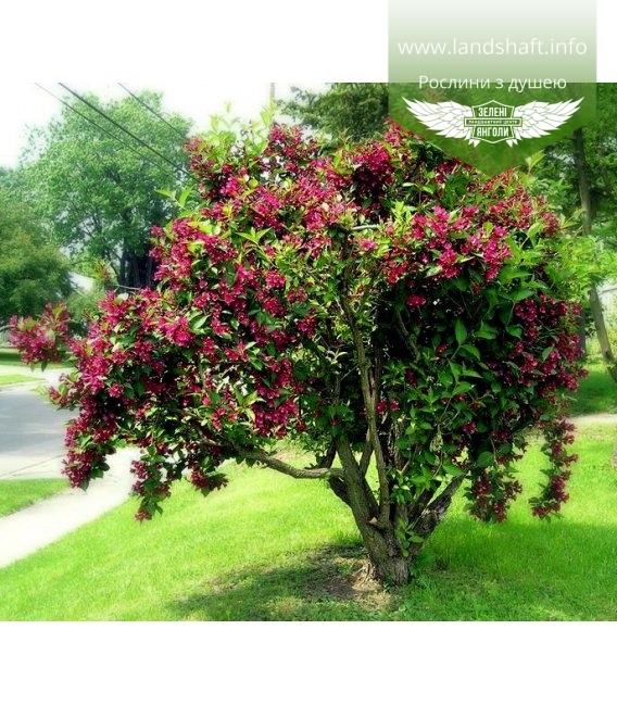 Weigela florida 'Bristol Ruby', Вейгела квітуча 'Брістол Рубі'