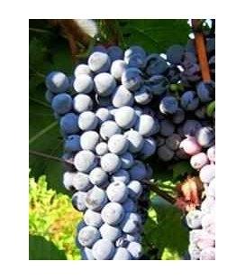 Виноград 'Лівадійський чорний'