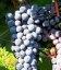 Vitis vinifera 'Livadiyskiy Chorniy', Виноград винный 'Ливадийский черный'