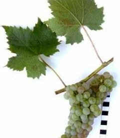 Виноград 'Цветочный'