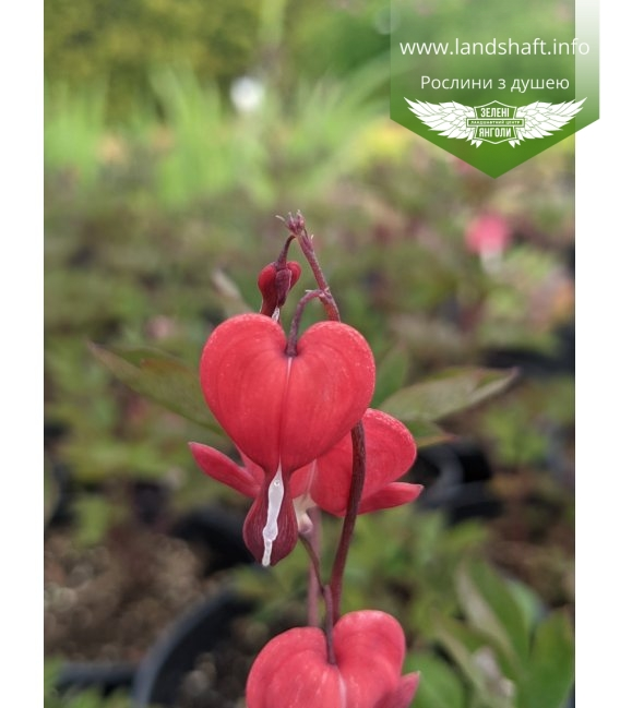 Dicentra spectabilis 'Valentine', Дицентра великолепная 'Валентина'