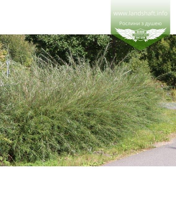 Верба rosmarinifolia, Верба розмаринолиста