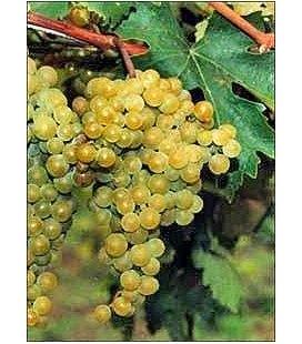 Виноград 'Слава'