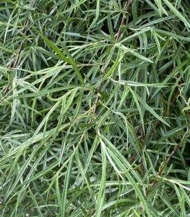 Ива elaeagnos 'Rosmarinifolia' Ива розмаринолистная