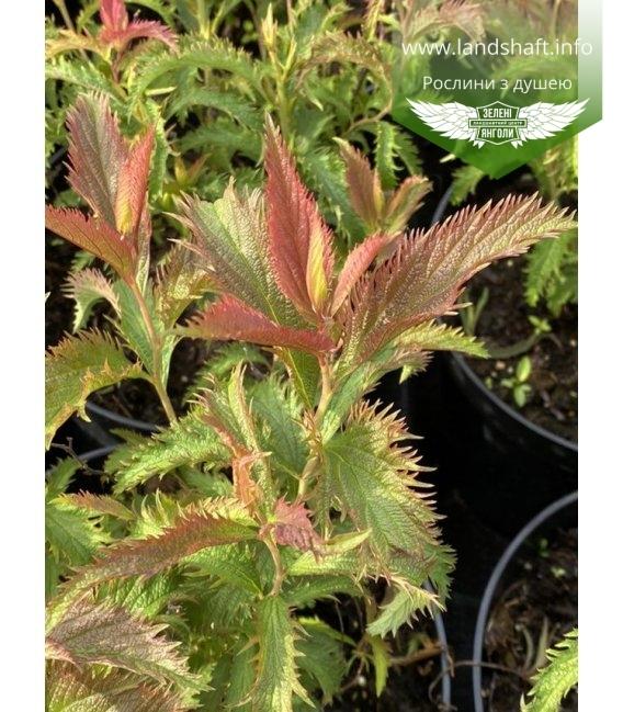 Spiraea japonica 'Sonia', Спирея японская 'Соня'