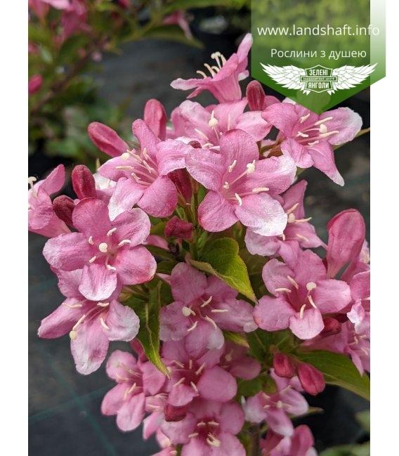 Соцветия вейгелі ранней 'Букет Роз'