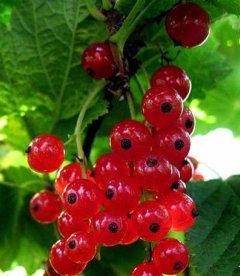 Ribes rubrum 'Уральская красавица' Смородина красная