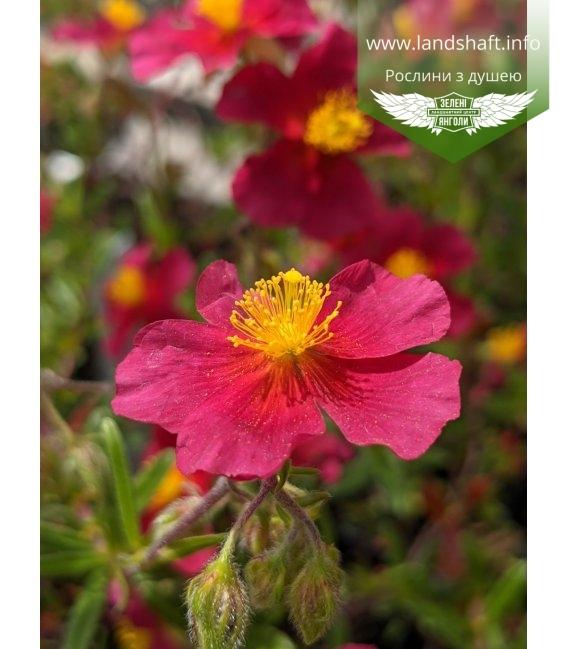 Helianthemum hybride 'Red Orient', Сонцецвіт гібридний 'Ред Орієнт'