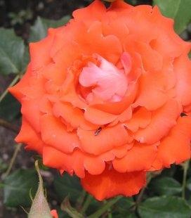 Rosa 'Angelique', Троянда чайно-гібридна 'Анжелік'