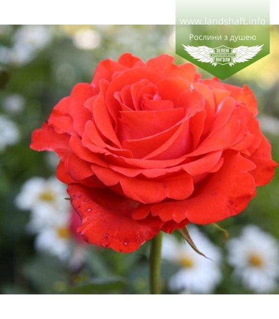 Rosa 'Angelique', Роза чайно-гибридная 'Анжелик'
