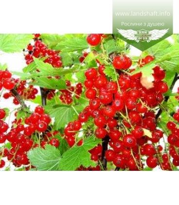 Ribes rubrum 'Ионхир Ван Тетс' Смородина красная