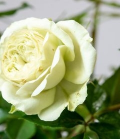 Rosa 'Lovely Green', Роза срезочная 'Лавли Грин'