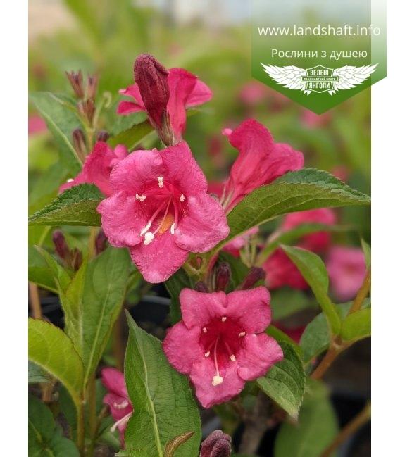 Суцвіття вейгели квітучої 'Брістол Рубі'