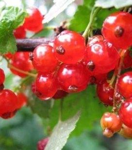 Ribes rubrum 'Росинка' Смородина красная