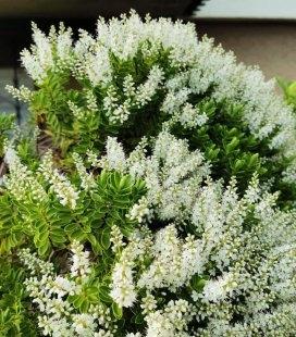 Hebe buxifolia, Хебе самшитолистная