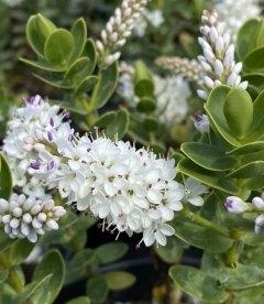 Hebe buxifolia, Хебе самшитолиста