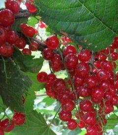Ribes rubrum 'Львовянка' Смородина красная