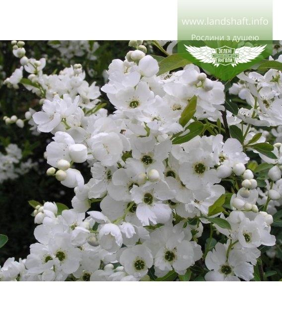 Exochorda racemosa, Экзохорда кистистая