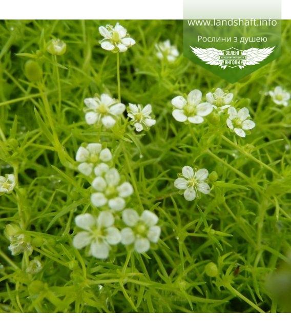 Sagina subulata 'Lime Moss', Мшанка шиловидна 'Лайм Мосс'