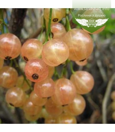 Ribes rubrum 'Розе Чаир' Смородина красная