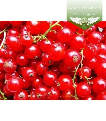 Ribes rubrum 'Китаевская' Смородина красная