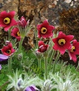 Pulsatilla vulgaris 'Pinwheel Dark Red Shades', Сон звичайний 'Пінвіл Дарк Ред Шейдс'