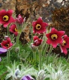 Pulsatilla vulgaris 'Pinwheel Dark Red Shades', Прострел обыкновенный 'Пинвил Дарк Ред Шейдс'