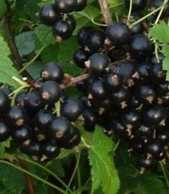 Ribes nigrum 'Кентавр' Смородина черная