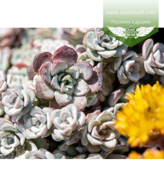 Sedum spathulifolium 'Cape Blanco', Очиток гибридный 'Кейп Бланко'