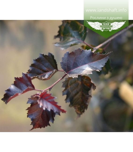 Betula pendula 'Purpurea', Береза плакучая 'Пурпуреа'